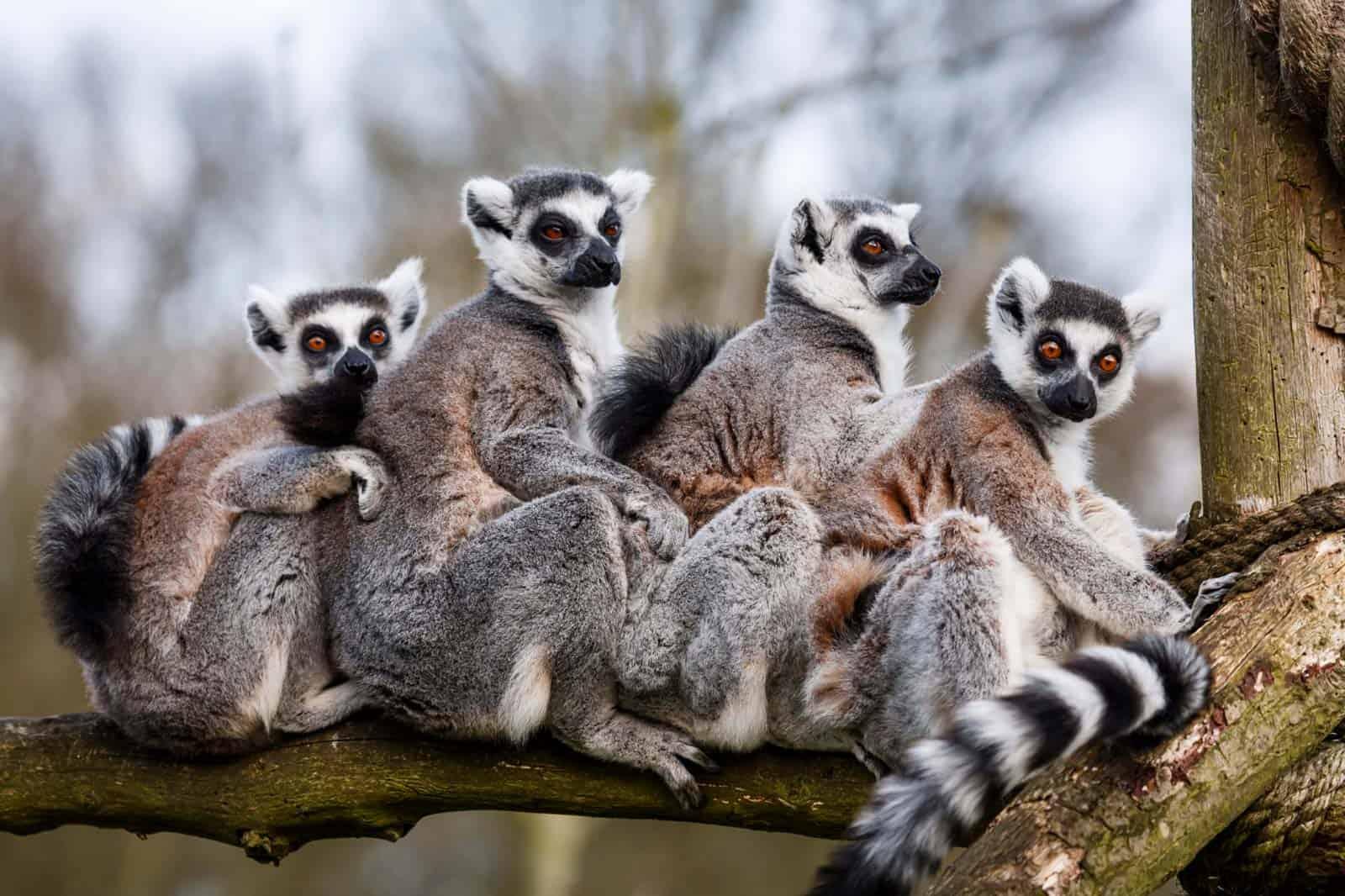 Lémures, Madagáscar