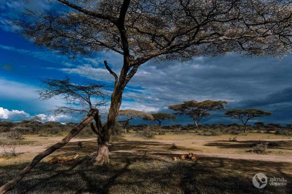 Safari in Tanzania: leeuwen