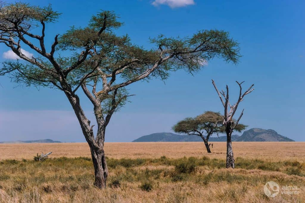 Serengeti bezoeken: luipaard in een boom