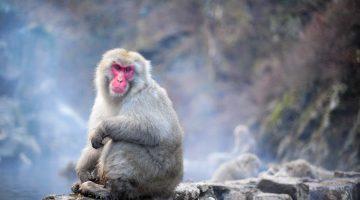 Porque não gostei de visitar os macacos das neves em Jigokudani