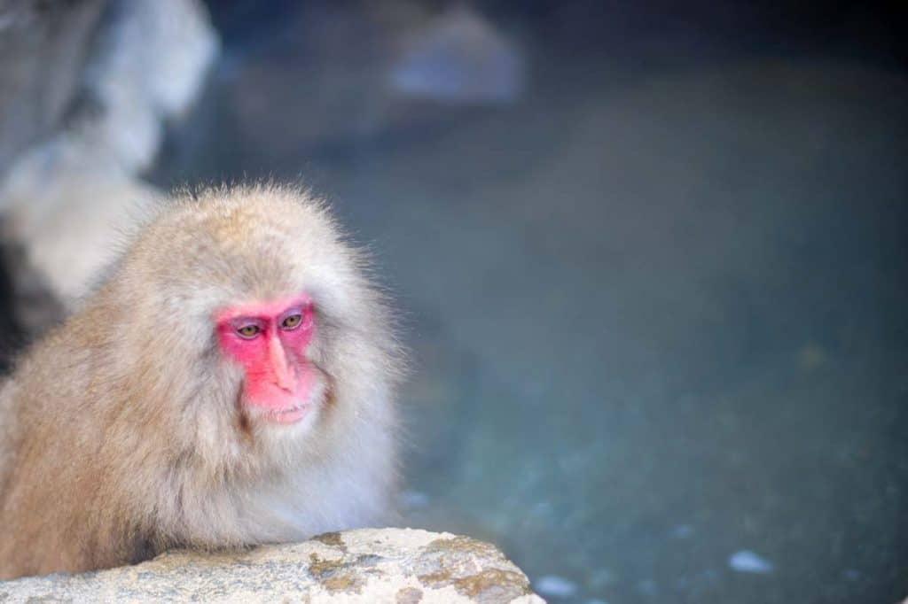 在Jigokudani的雪猴子