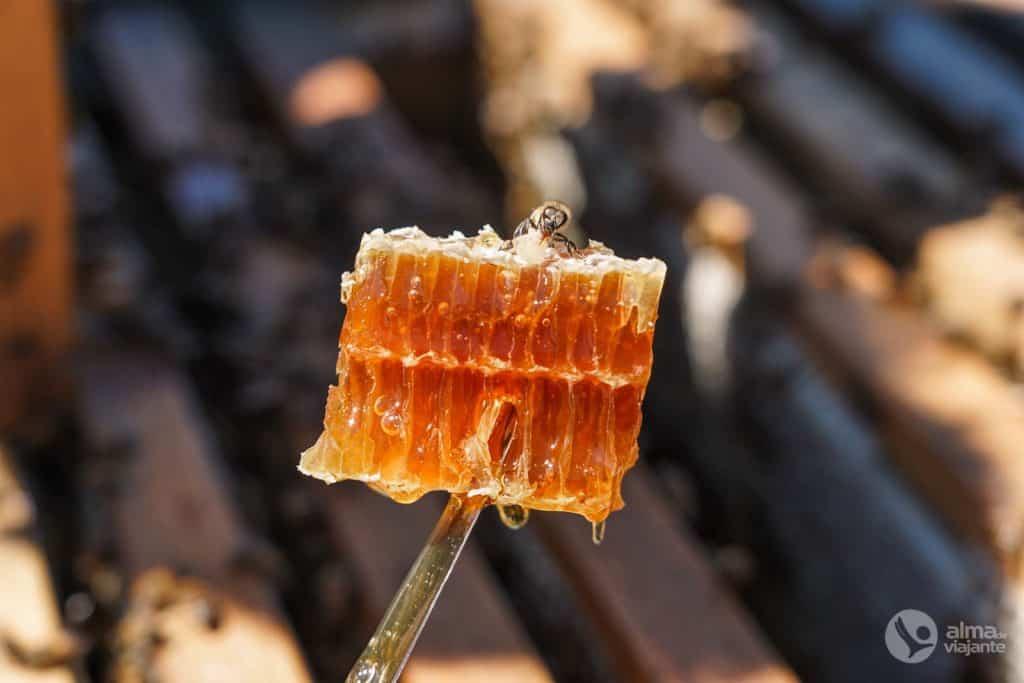 Favo de mel produzido pelas abelhas buckfast