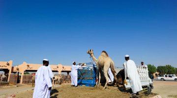 Uma visita ao mercado de camelos de Al Ain
