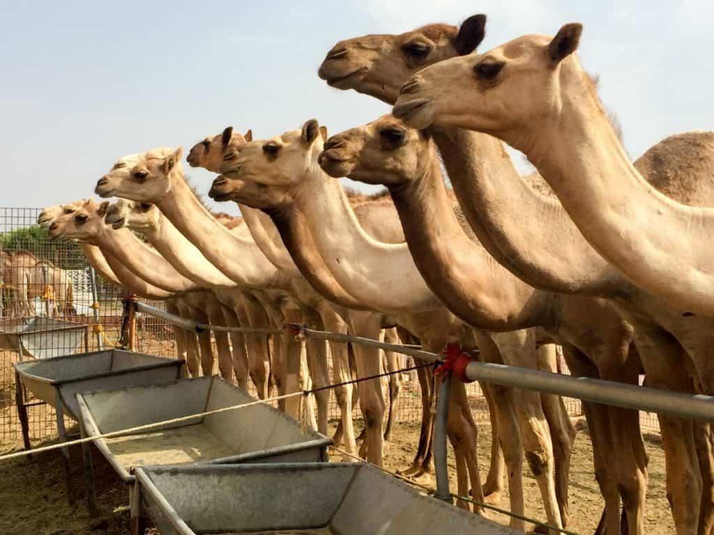 Mercado de camelos de Al Ain