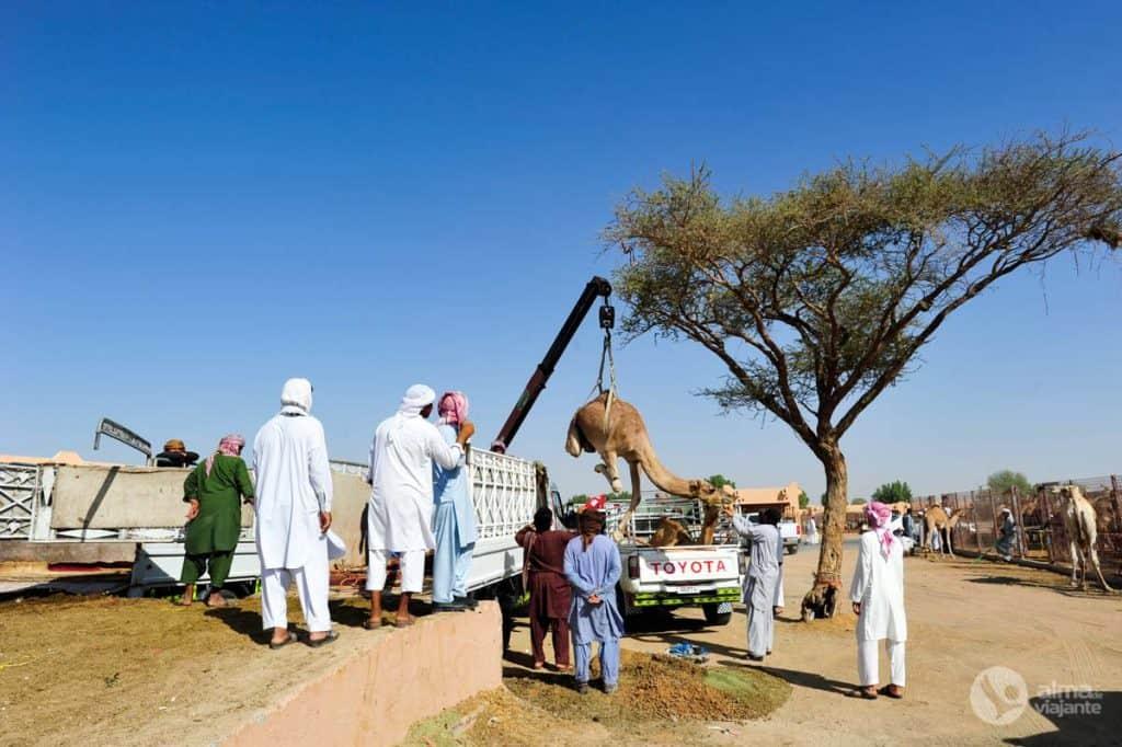 Camelo Al Ain Abu Dhabi
