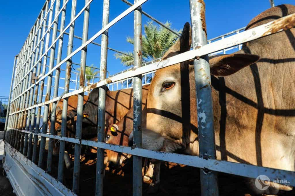 Vacas no mercado de gado de Nizwa