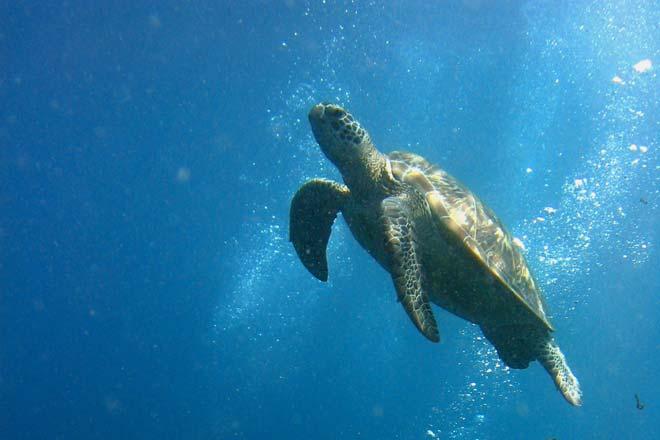 Mergulho com tartarugas, em Sipadan
