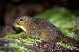 Esquilo em Kinabalu