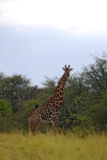 Gíraffi í Moremi Game Reserve, Okavango Delta