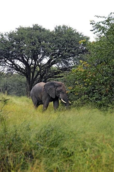 Elephant í Moremi Game Reserve, Okavango Delta