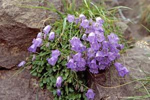 Flores de Ordesa, Pirenéus