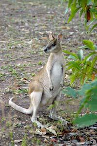 Pequeno canguru em Matarranka, Territórios do Norte, Austrália
