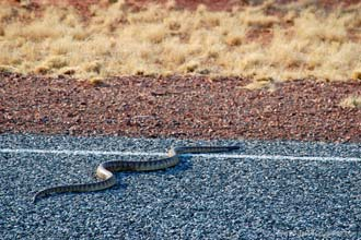 Cobra na estrada, Austrália