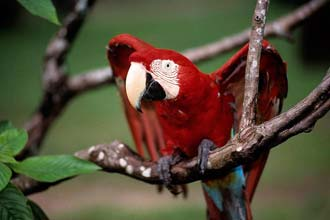 Parrot á eyjunni Marajó, Brazilian State of Pará