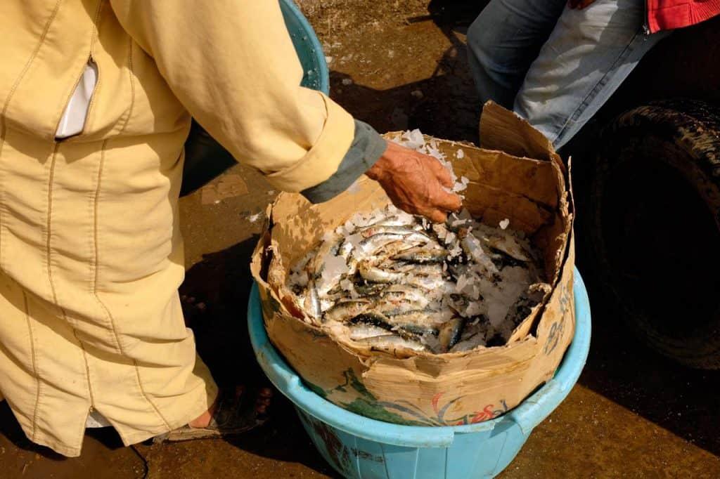 Mettendo il ghiaccio sul pesce, Essaouira Marocco