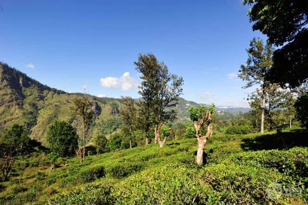 Plantações de chá em Ella