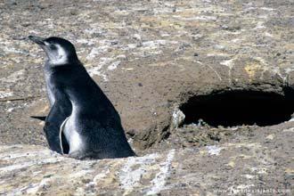 Pinguim na reserva Provincial Punta Tombo, Patagónia
