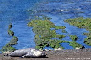 Elefante-marinho fêmea na Península de Valdés, Patagónia argentina