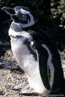 Pinguim de Magalhães, Argentina