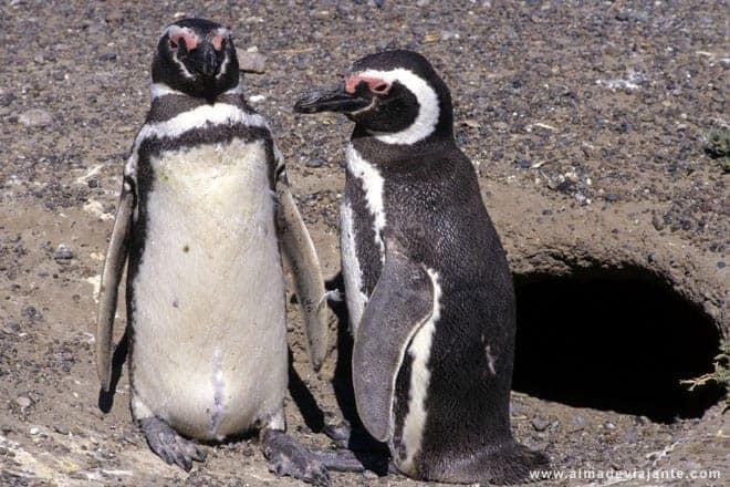 Pinguins de Magalhães, Argentina