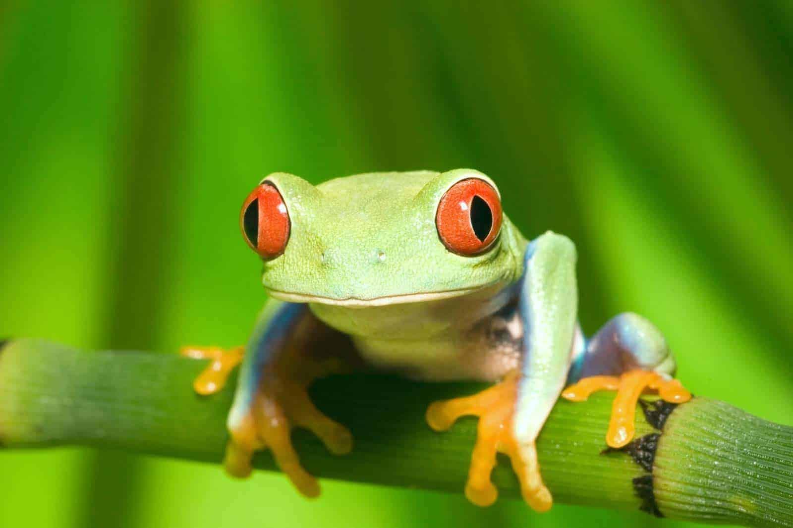 Rã de olhos vermelhos, Costa Rica