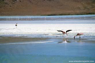 Flamingos na Laguna Hedionda