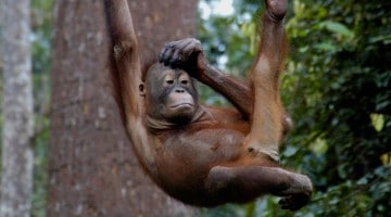 Heimsækja orangútar í Sepilok, Borneo, Malasíu