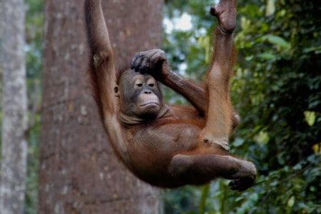 Visitar orangotangos em Sepilok, Bornéu, Malásia