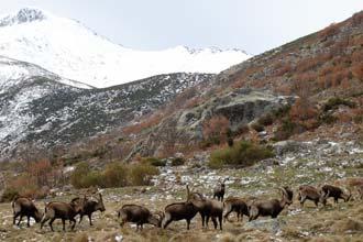 As cabras-mouras são fáceis de avistar durante praticamente todo o percurso. na Serra de Gredos