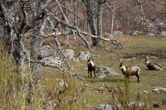 Cabras-mouras pastam num carvalhal em Gredos