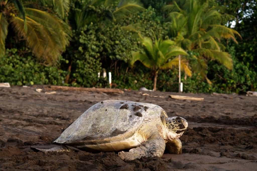 Tartaruga marinha após desovar em Tortuguero