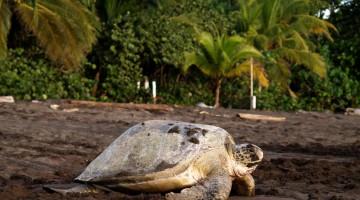 Tartaruga marinha após desovar em Tortuguer