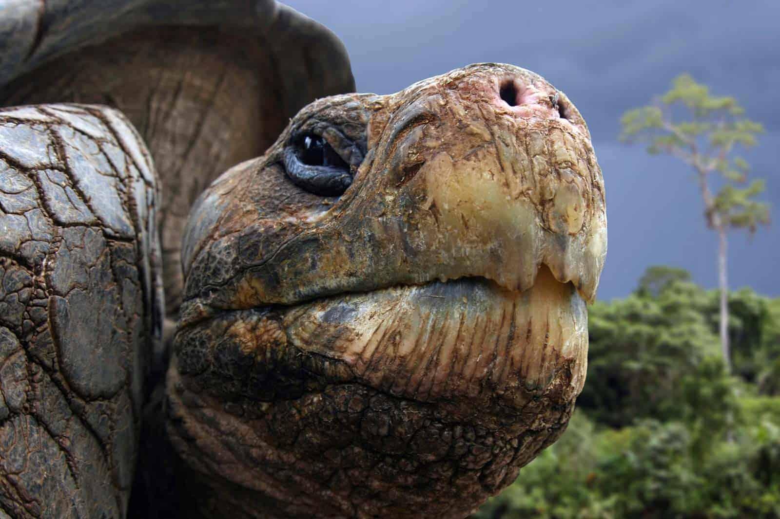 Tartaruga gigante das Galápagos