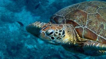 Tartaruga durante um mergulho em Sipadan