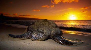 Desova das tartarugas em Tortuguero, uma experiência emocional