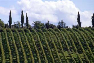 Vinhedos de Vernaccia, próximo de San Gimignano, Toscana