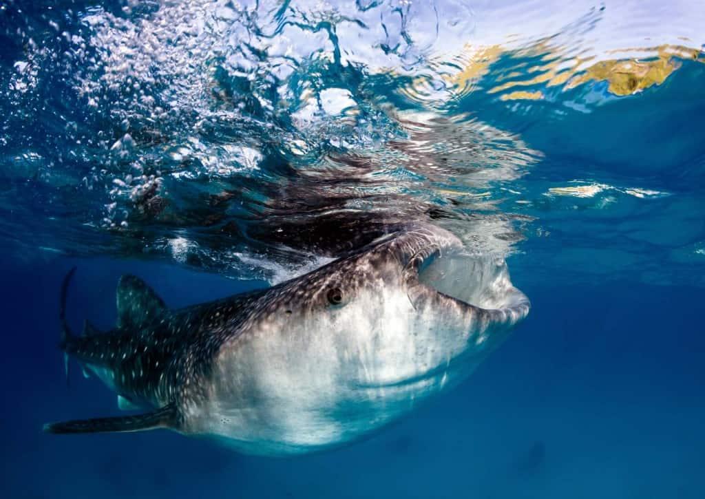 Nadar com tubarões-baleia em Holbox