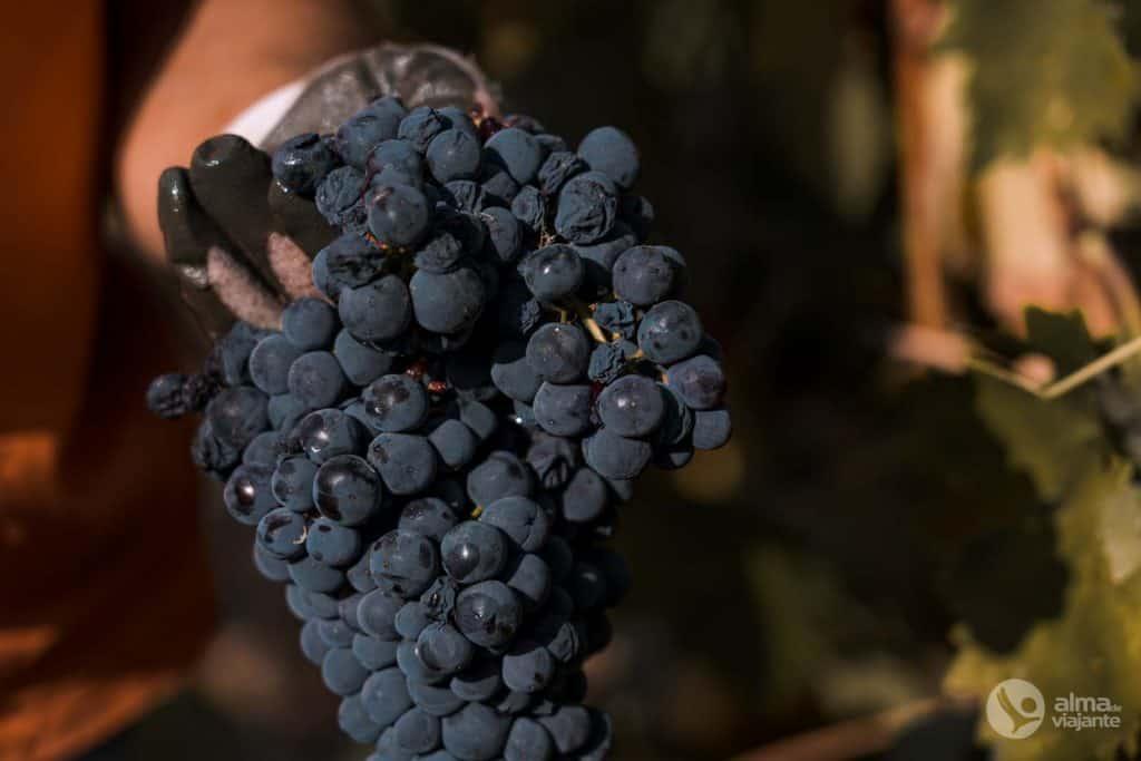 Uvas para vinho do Porto
