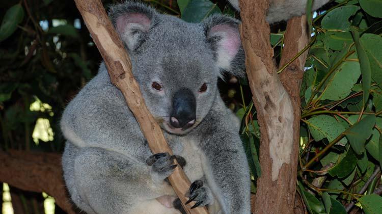 Lone Pine Koala Sanctuary , Brisbane