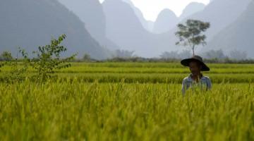 Rice í Yangshuo, Kína