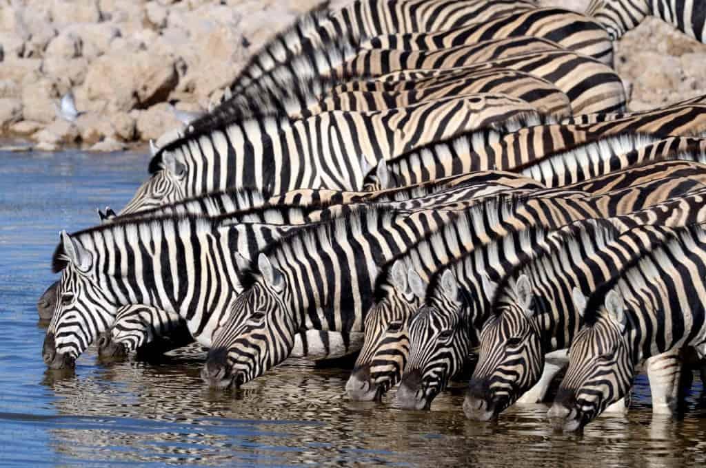 Skupina Zebras v Etosha Park, Namíbia