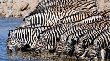 Grupo de Zebras no Parque Etosha, Namíbia